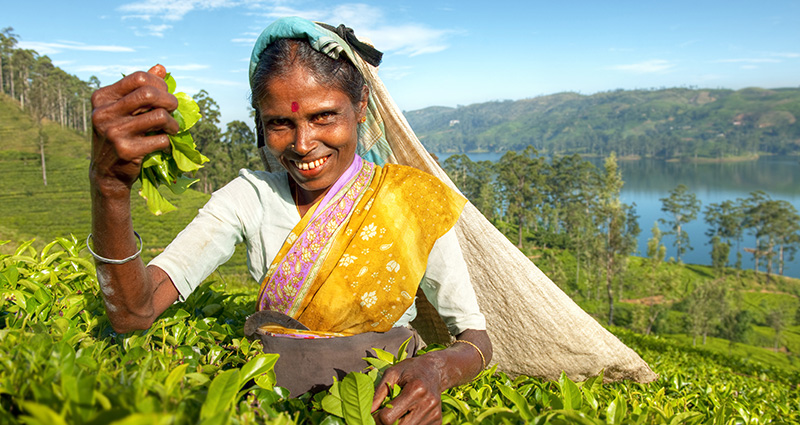 A Sri Lancan woman working on a tea plantation