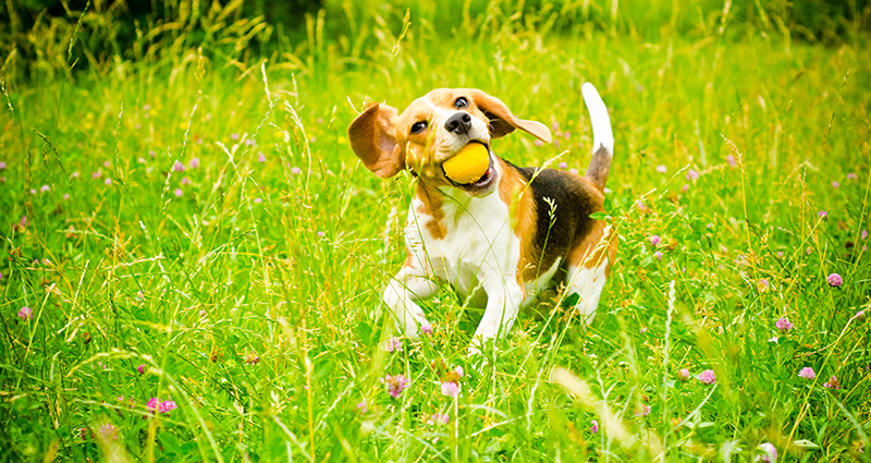 A beagle playing in the garden with a yellow toy in his muzzle