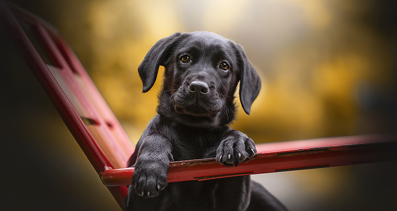 A black Labrador sitting on a garden chair