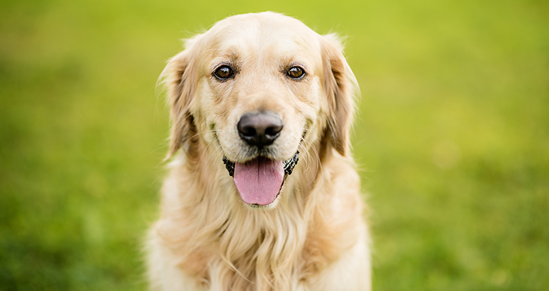 A close-up on a Golden Retriever on a meadow