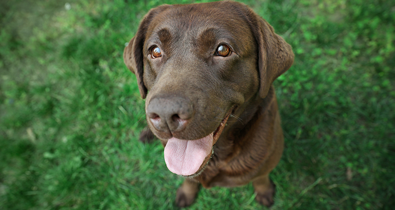 A close-up on a brown Labrador looking straight into the camera's lens