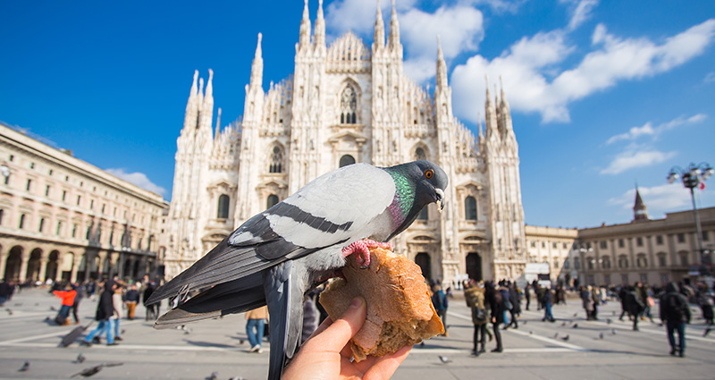 A pigeon nibbling bread against the Duomo Cathedral in Milano