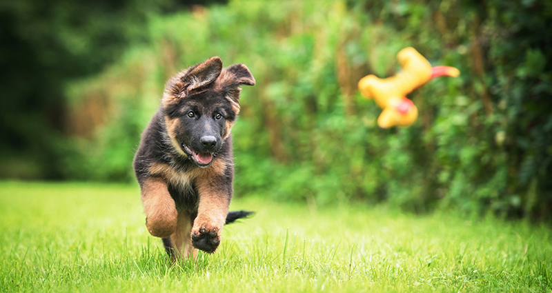 A puppy of a German Shepherd playing fetch in the garden