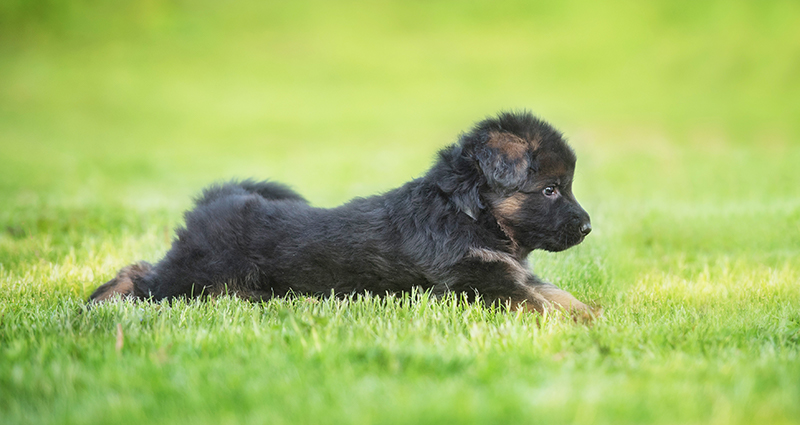 A relaxed German shepherd puppy lying in the garden