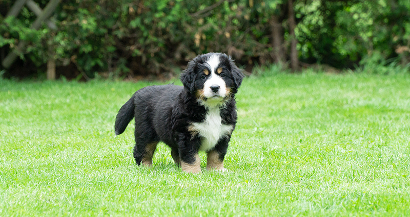 Bernese Mountain Dog – a puppy