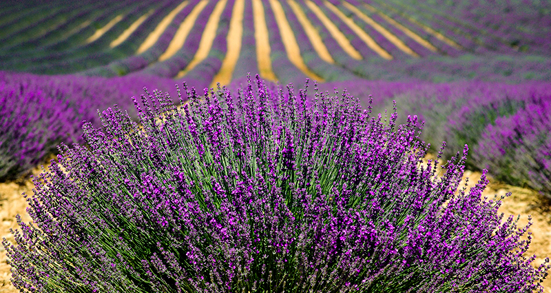 Focus on a lavender plant, lavender plantation in the background