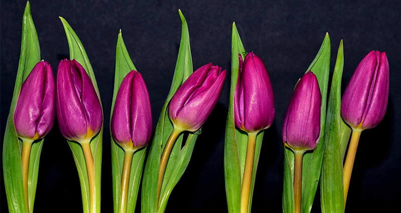 Tulipes mauves.