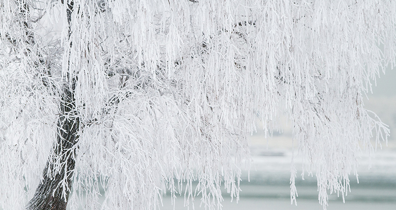 Tree covered in frozen snow