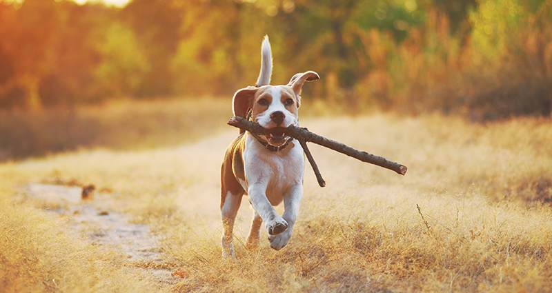 A beagle with a stick in the forest
